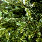 Fraser Fir needles