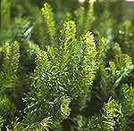 Noble Fir needles